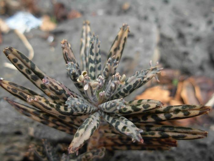 Молодое растение Каланхоэ