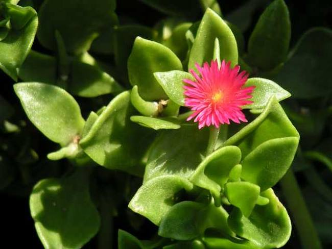 Аптения сердцевидная (Aptenia cordifolia)