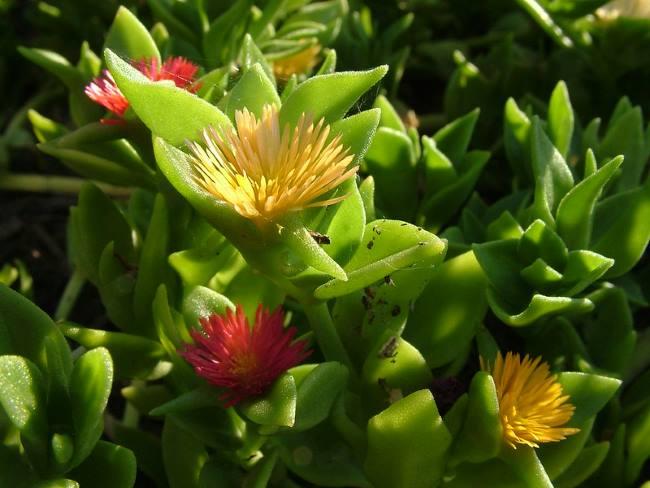 Аптения Хекеля (Aptenia haeckeliana)