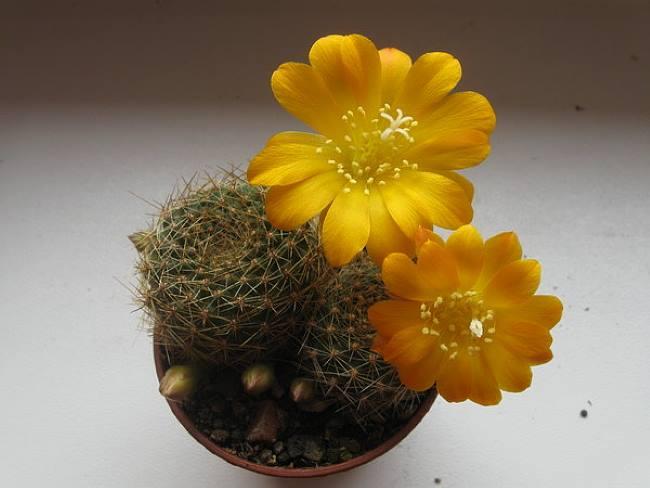 Ребуция марсонера (Rebutia marsoneri)