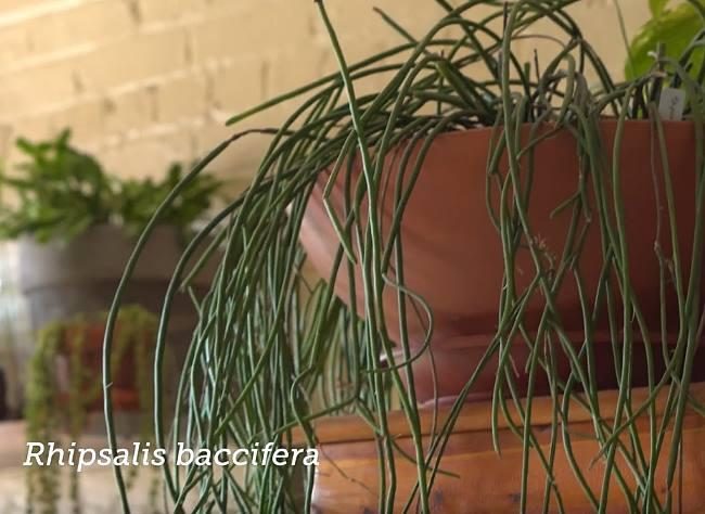 Рипсалис ягодный или бассифера (Rhipsalis baccifera)