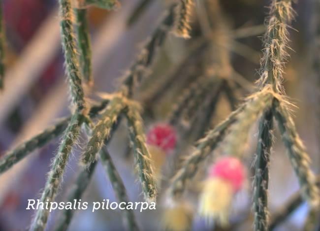 Рипсалис опушенноплодный или пилокарпа (Rhipsalis pilocarpa)