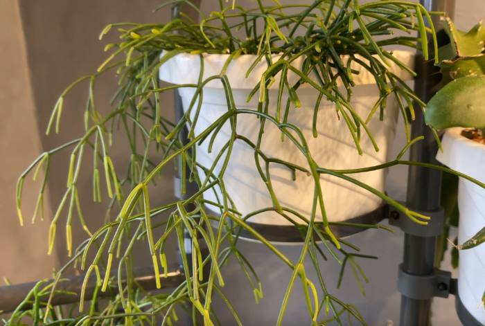 Фото кактуса Прутовик в горшке