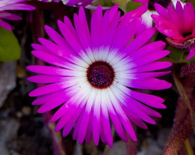 Мезембріантемум маргаритковидний або волосоквітковий (Mesembryanthemum bellidiformis)