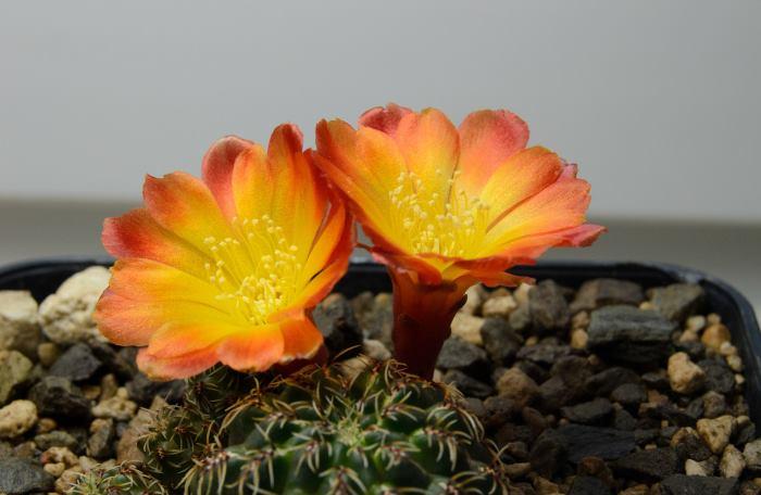 Фото кактусу в горщику