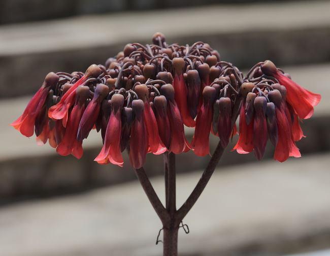 Фото цветов Каланхоэ Дегремона