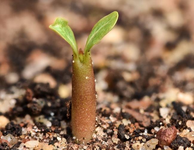 Фото паростка Аденіуму з насіння