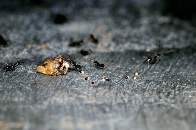 Фото мурахи та насіння Блосфельдії